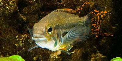 Ulovljena riba čudovište koja puže po zemlji i napada ljude  %Post Title