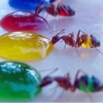 Obojeni mravi  %Post Title