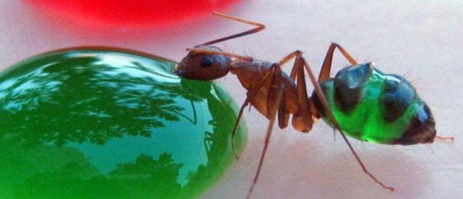 Obojeni mravi