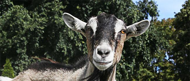 Da li koze imaju akcenat?