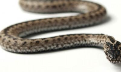 Ako vas ugrize zmija