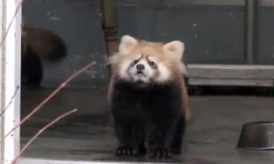 Šokirana panda