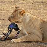 Kada ti lav ukrade foto aparat
