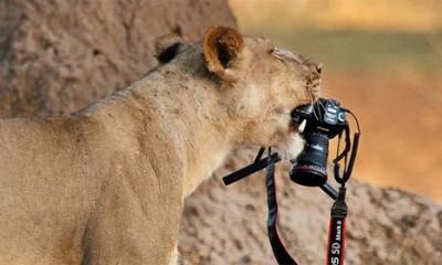 Kada ti lav ukrade foto aparat  %Post Title
