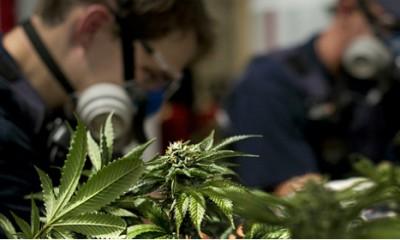 Većina Amerikanaca želi legalizovanu marihuanu