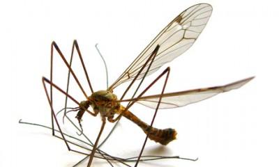 Pojavili se džinovski komarci  %Post Title