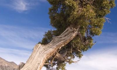 Ovo je najstarije drveće na planeti