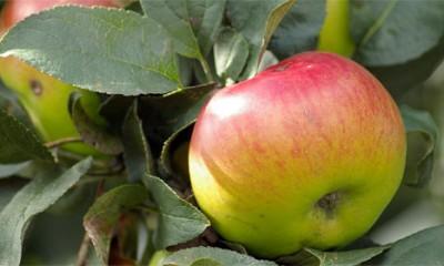 Zašto voće više nije ukusno?
