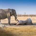 Dirljiva fotografija slonice koja se oprašta od prijatelja
