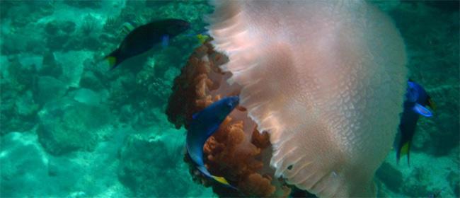 Meduze osvajaju svet