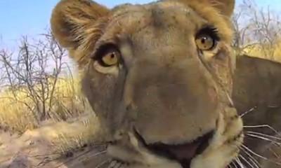 Divna priča o ljubavi lavice i mladića koji su je spasili sigurne smrti  %Post Title