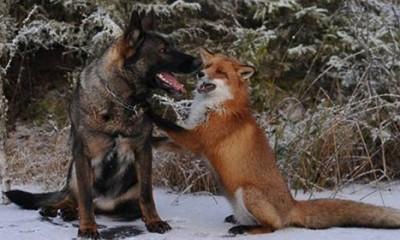 Neobično prijateljstvo divlje lisice i kućnog psa
