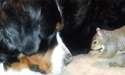 Veverica krije lešnik u krznu bernandinca