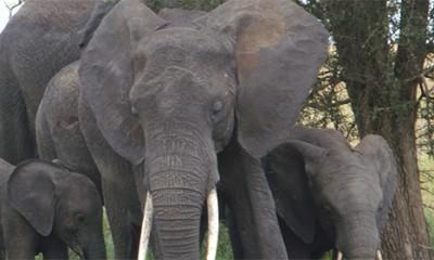 Slonovi osećaju empatiju  %Post Title