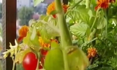 Kako da gajite povrće na terasi  %Post Title