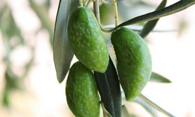 Kako da otkrijete lažno maslinovo ulje  %Post Title