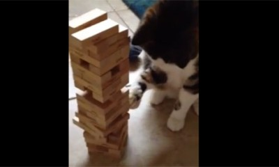 Luda Mačka voli Jenga društvenu igru  %Post Title