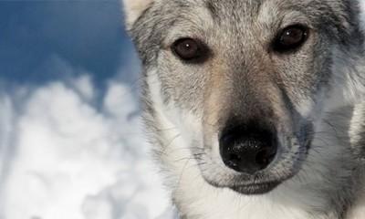 Vukovi koriste kontakt očima za razmenu informacija