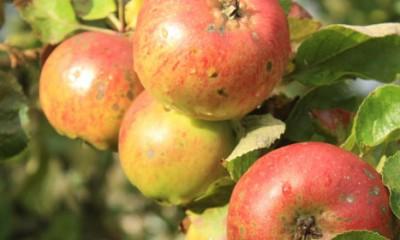 Zašto je jabukovo sirće toliko lekovito?  %Post Title