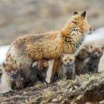 Rus slikao lisice cele zime  %Post Title