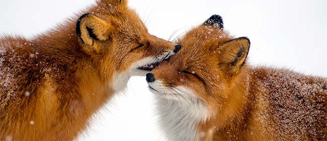 Rus slikao lisice cele zime