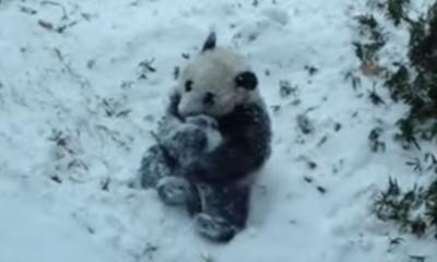 Panda baš voli sneg