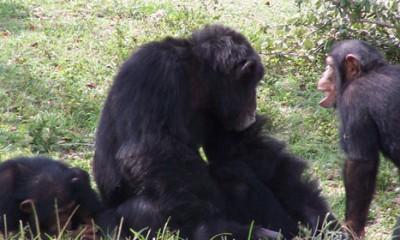 Šimpanze razgovaraju o hrani