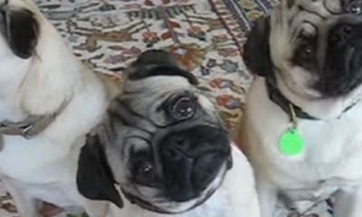 Zašto psi naginju glavu?  %Post Title