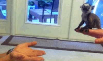 Preslatka beba lemura vežba skok