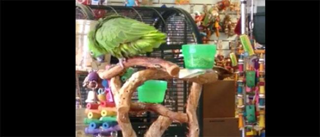 Ovaj papagaj peva bolje od vas