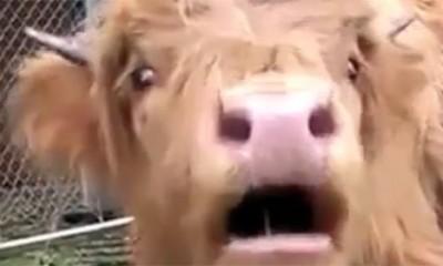 Urnebesne krave podešavaju glas