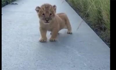 Preslatki mali lav hoće da riče ali baš ne ume  %Post Title