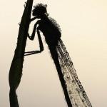 Insekt ljudskog lika