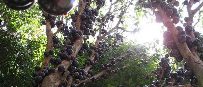 Da li ste čuli za Džabutikaba voće?