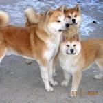 akita inu ,our dogs
