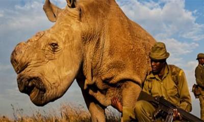 Na svetu ostala još samo tri bela nosoroga
