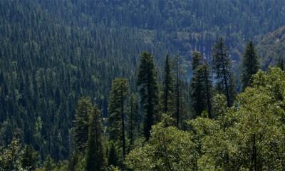 Najstarije drvo na svetu ima 9.550 godina