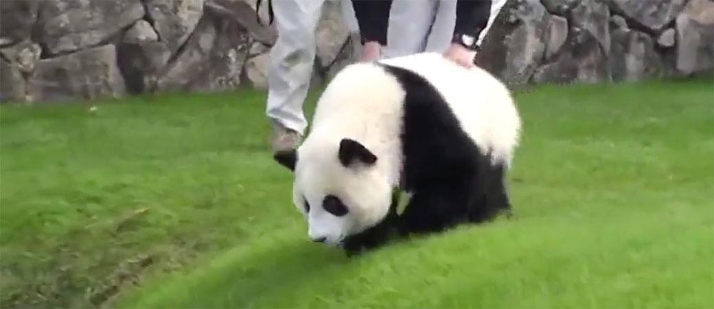 Beba panda je totalna budalica