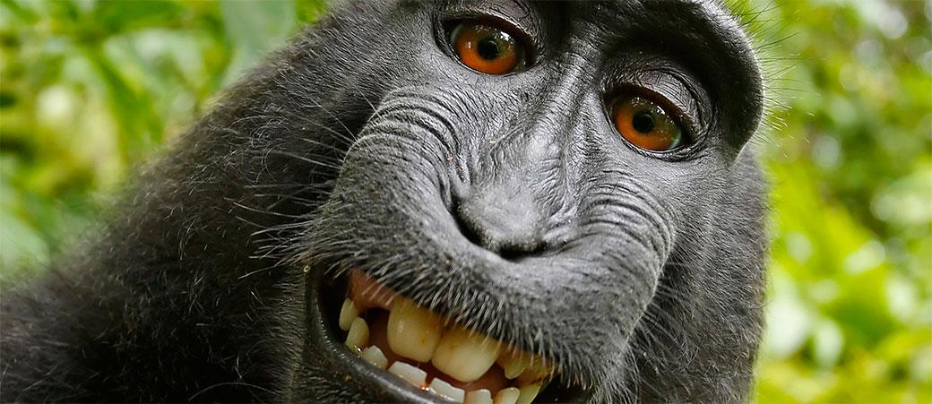 Majmun ipak nije vlasnik čuvene fotografije