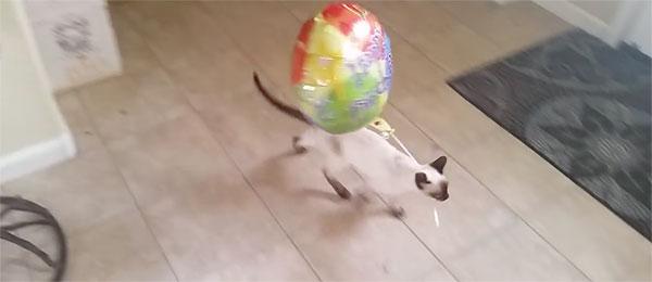 Mačka stvarno voli svoj balon