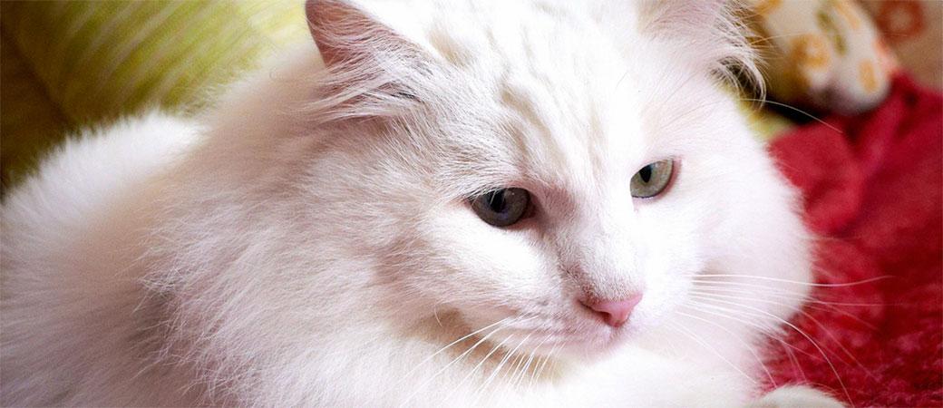Vlasnici mačaka rizikuju teške mentalne bolesti