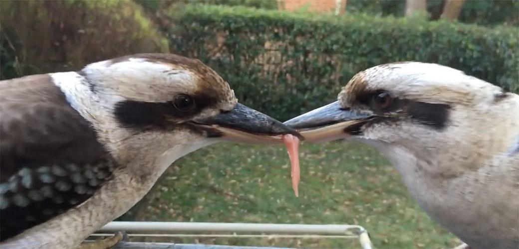 Slika: Dve vrlo tvrdoglave ptice