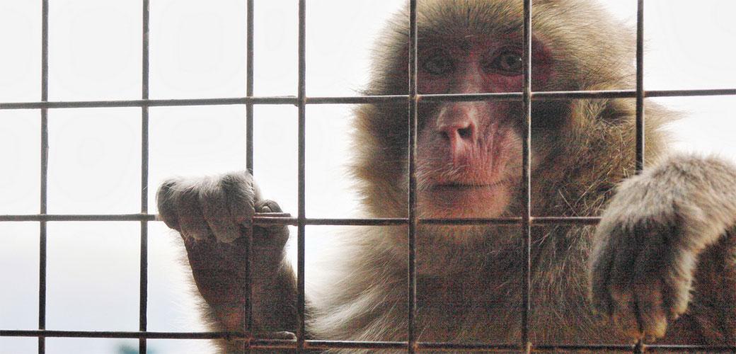 Makaki majmuni koriste alate