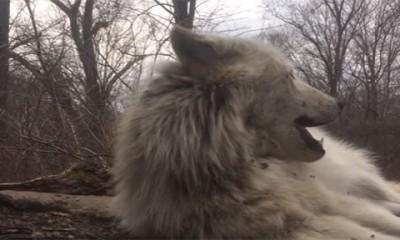 Ovog vuka mrzi i da zavija