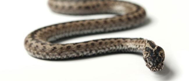 Slika: Ovo nikako ne radite ako vas zmija ujede