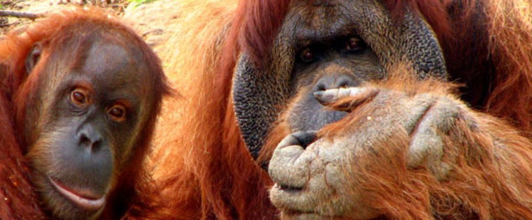 Slika: Razumemo jezik majmuna