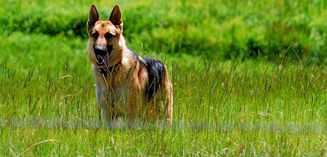 Koji psi najčešće grizu