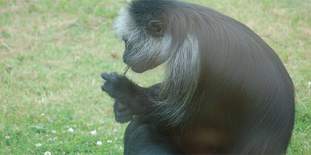 Majmun iz zoo vrta puši paklicu dnevno