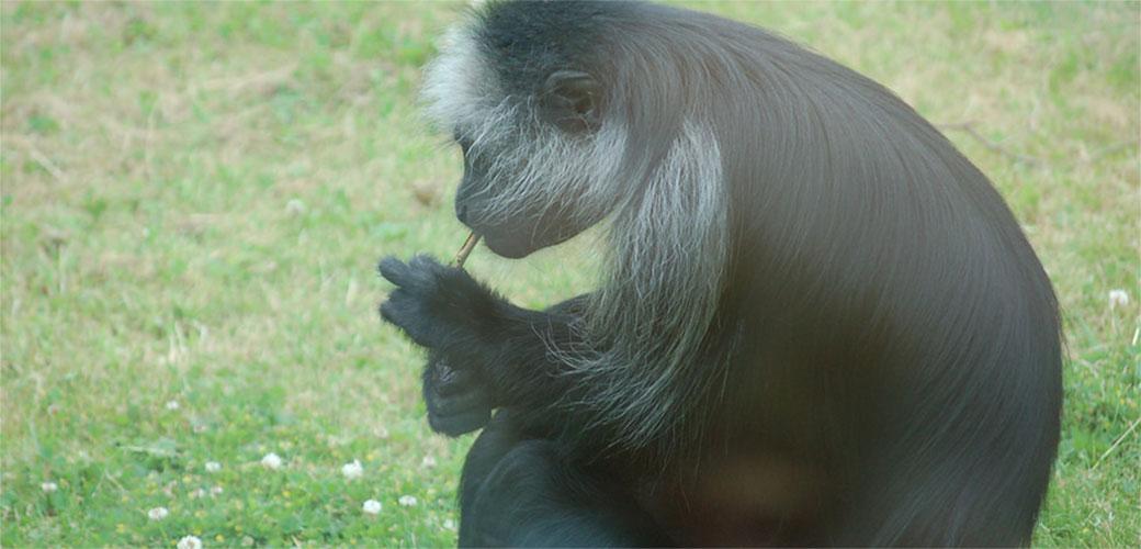 Slika: Majmun iz zoo vrta puši paklicu dnevno
