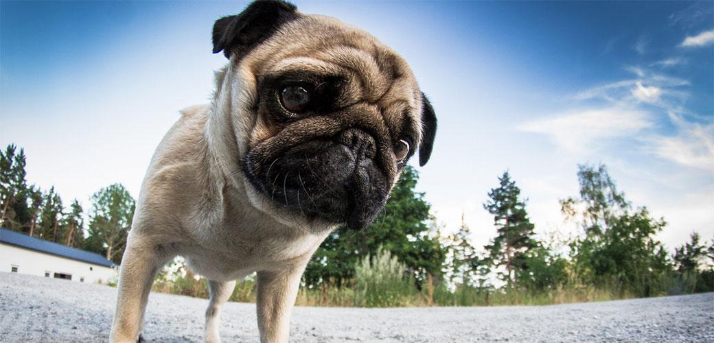 10 rasa pasa idealnih za lenčuge